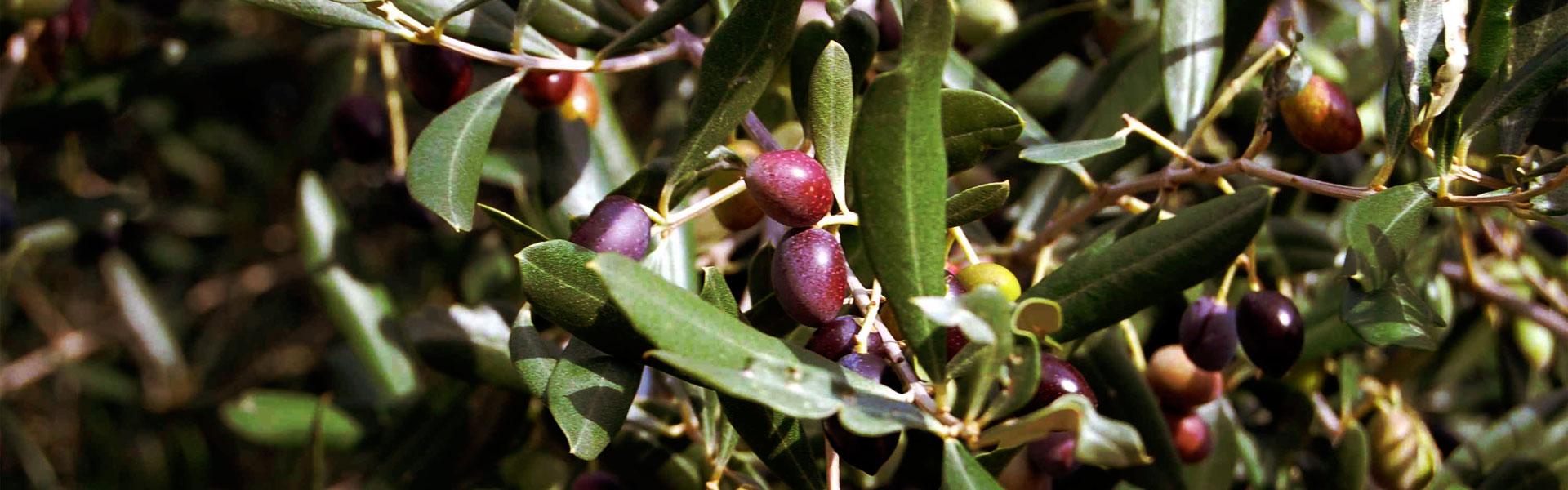 2_olive